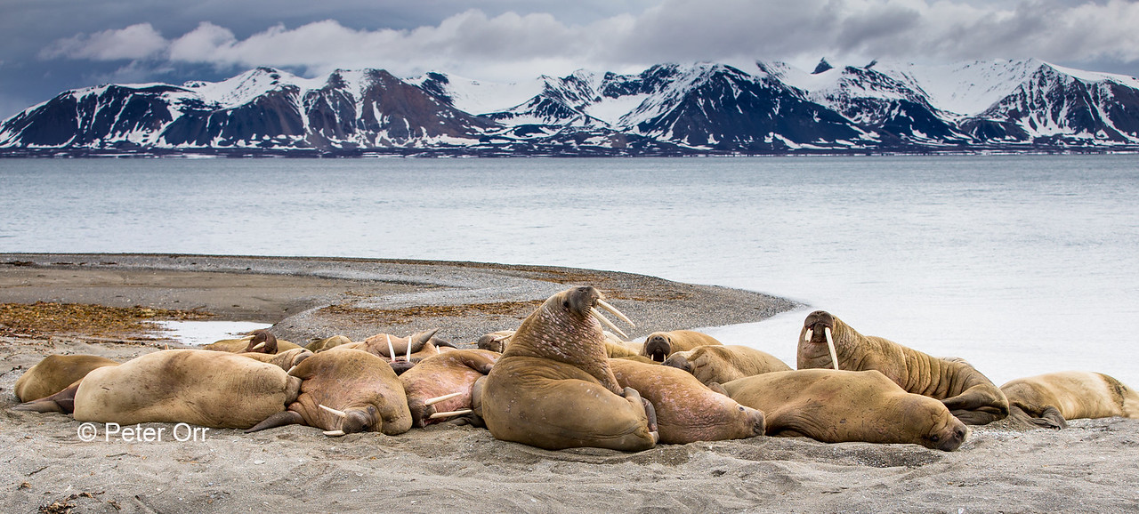 Walrus group in Svalbard