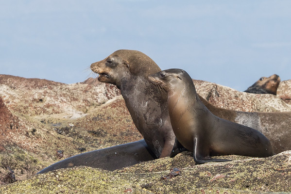 Sea lion duo
