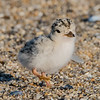 Least Tern Chick 6/18/16