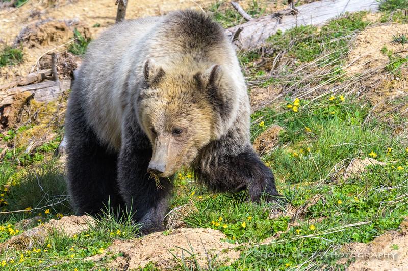 Female Grizzly Bear Feeding on New Growth