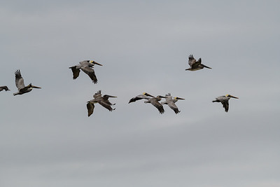 A squadron of Pelicans