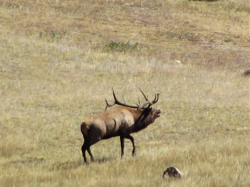 Bull Elk bugling during the rut