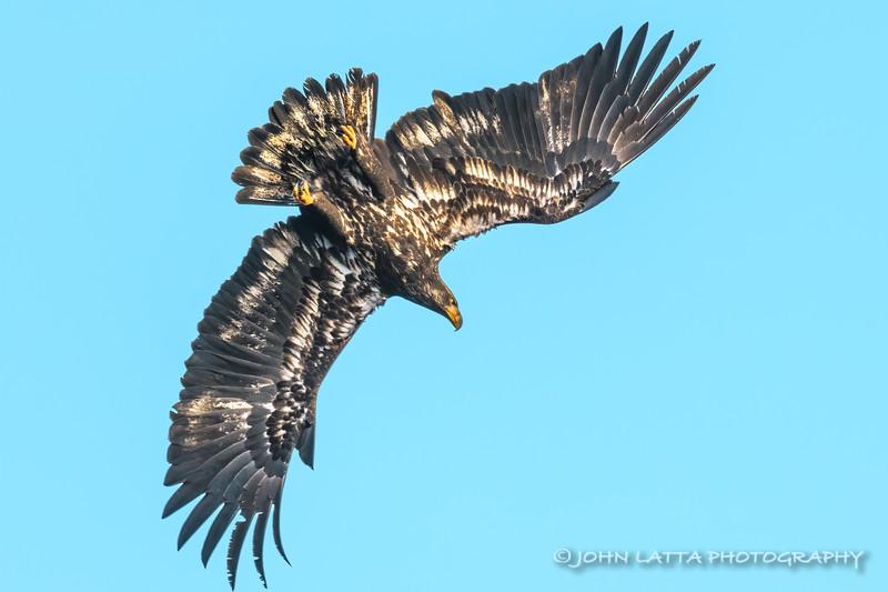 Diving Immature Bald Eagle