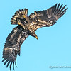 Diving Immature Bald Eagle