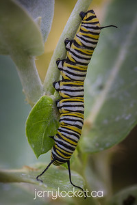Monarch Butterfly Larva