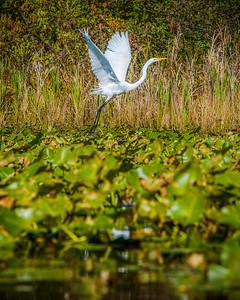 Lake Brandt Egret