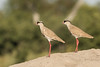 Crowned lapwings
