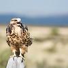 Hawk in the Centennial Valley, MT