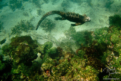 Swimming Marine Iguana in the Galapagos