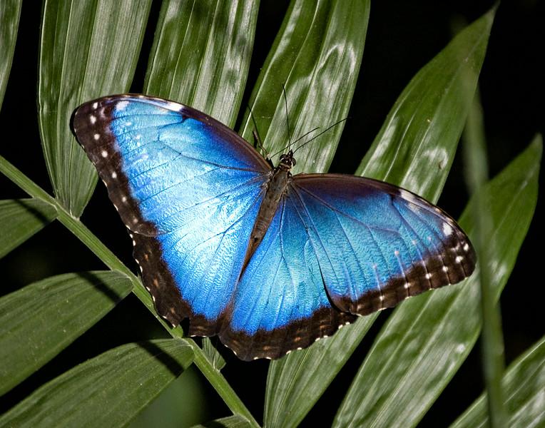 Blue Morpho, Cosat Rica