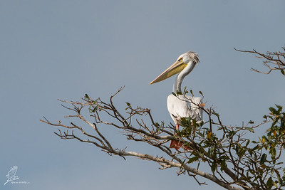 Pelican, Pink-backed