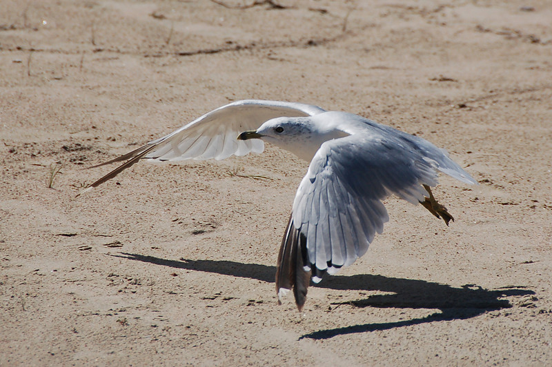 119 - Seagull, Jackson Lake, CO