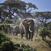 Elephants in Amboseli National Park, Kenya, East Africa