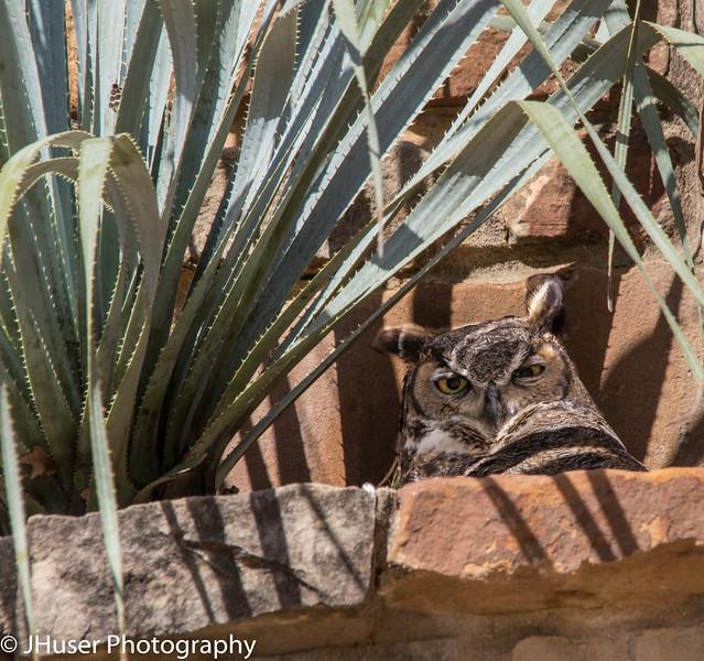 Great Horned Owl sitting on her nest