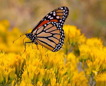 Monarch Butterfly on Rabbit Brush