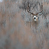 Large Mule Deer Buck hiding in Sagebrush