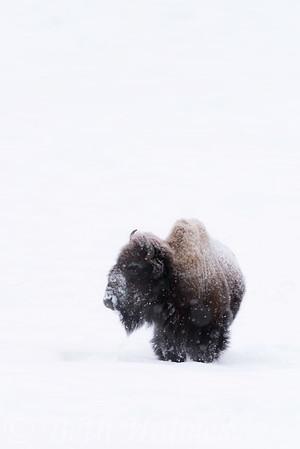 Bison on White