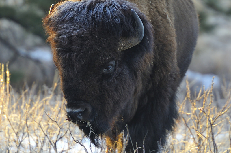 American Bison at Fort Niobrara National Wildlife Refuge, Valentine, Nebraska
