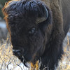 American Bison at Fort Niobrara National Wildlife Refuge, Valentine, Nebraska