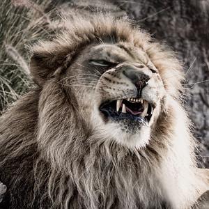Growling Lion