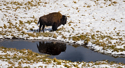 Reflection of a Bison
