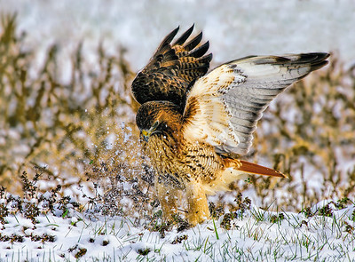 _JFF4014 Red Tail Hawk in Snow