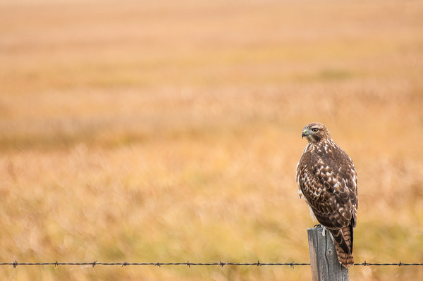 Redtailed Hawk,  Teton NP,  WY.