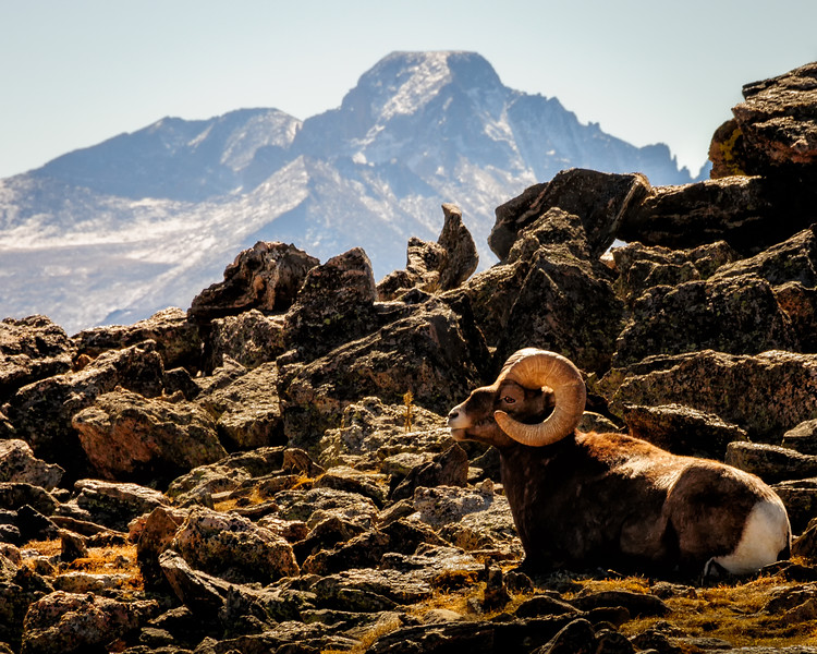 The Rocky Mountain Big Horn Sheep (Ovis canadensis) is the State animal of Colorado and the mascot of CSU.  Longs Peak is in the background.
