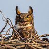 Great Horned Owl 4/14/18