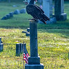 Turkey Vulture Perched On A Gravestone 8/31/19