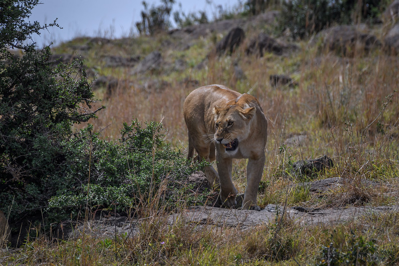 Female lion on a hillside in Masai Mara, Kenya, East Africa