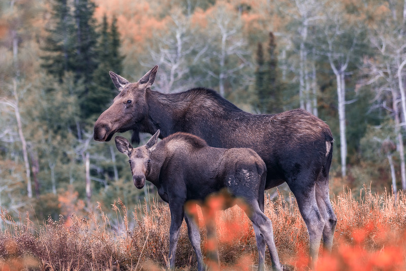 Mother Moose and Calf in Fall Colors