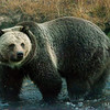 Grizzly Wading Through a Creek