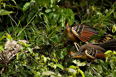 Two Hoatzin in the Amazon