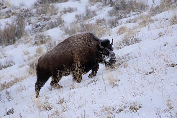 Buffalo | Grand Teton NP | Wyoming
