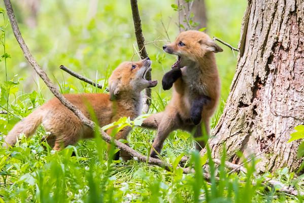 Fox Kits Play-fighting
