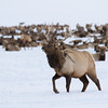 Rocky Mountain Elk | Wyoming