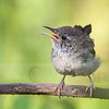 Juvie wren