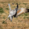 Sandhill Crane Playing with Weed Bundle