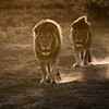 Two male lions walking to the watering hole just after sunrise, Ndutu, Tanzania, East Africa
