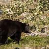 Black Bear With a Thick Shiny Coat