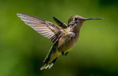 Ruby-Throated Hummingbird 6/24/17