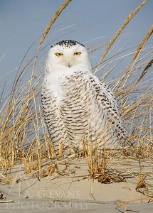 Snowy Owl in a Dune
