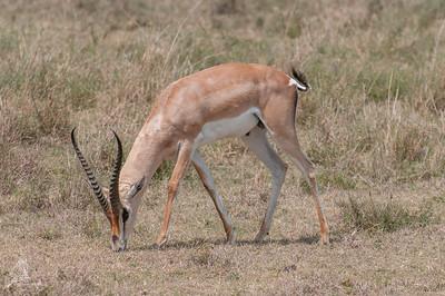 Gazelle, Grant-