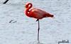 Pink Flamingo in Curaçao