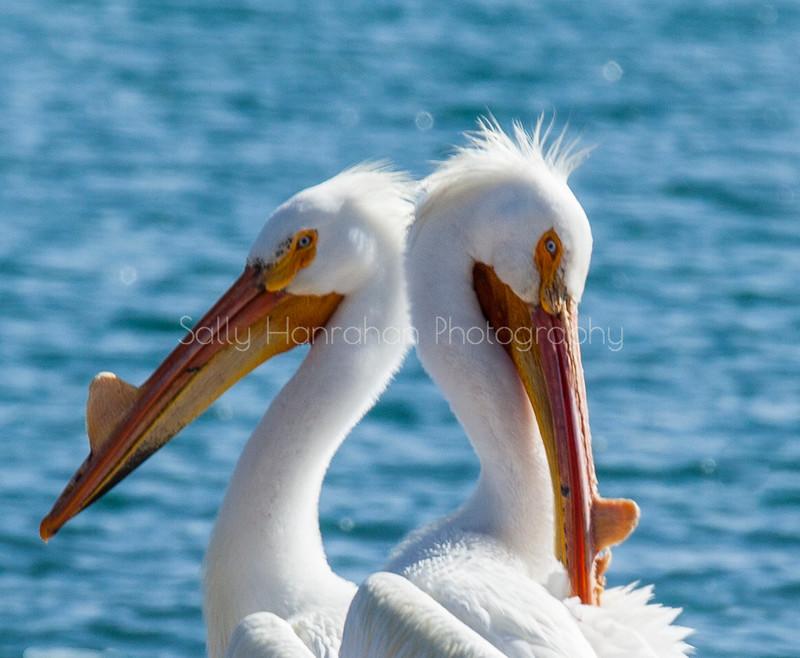American Pelicans-Pyramid Lake Nevada