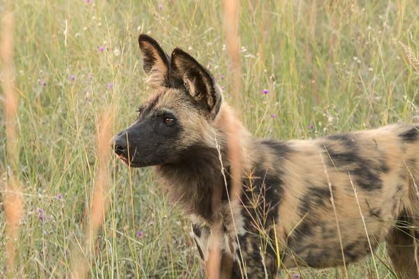 Alert wild dog