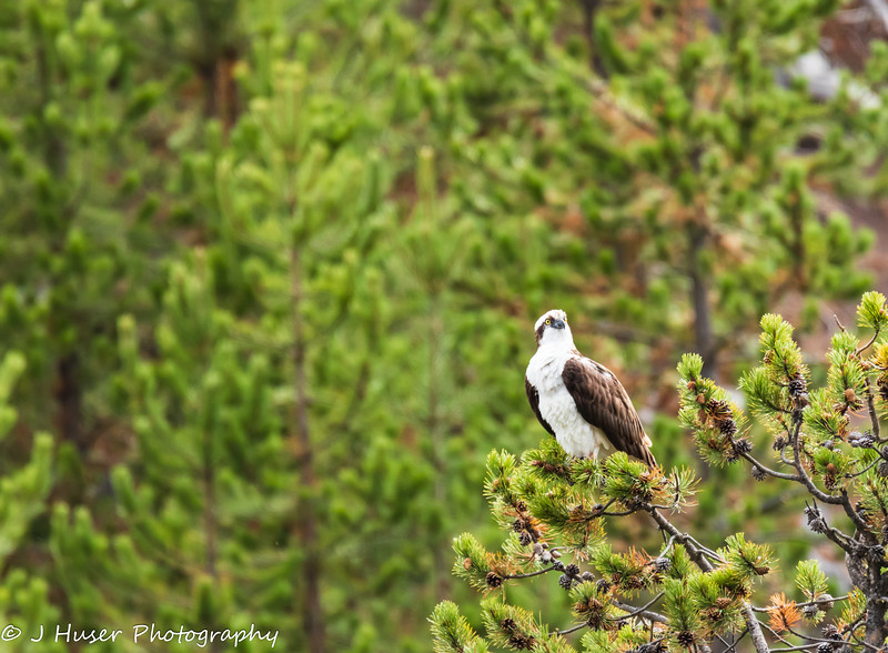 Osprey perched looking right