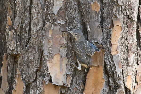Baby Bluebird Climbing Pine