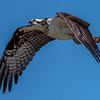 Osprey in Flight 4/8/17